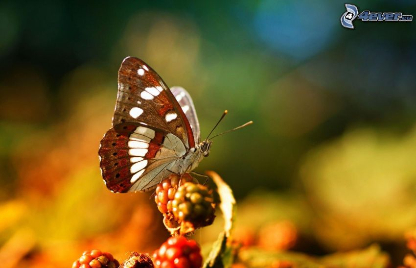 butterfly, fruits