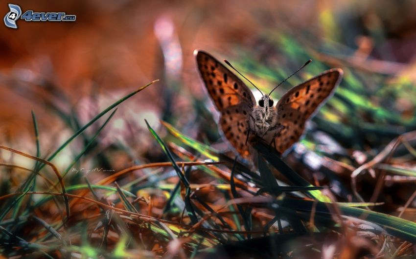 butterfly, grass