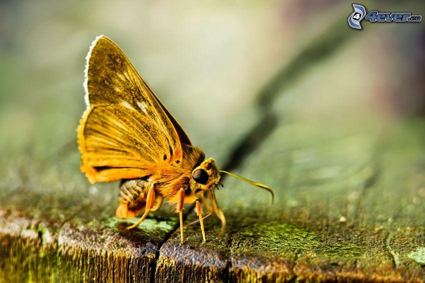 butterfly, macro