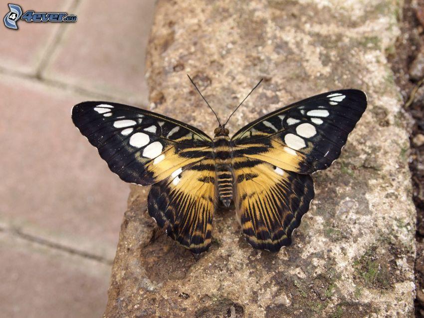 butterfly, wall