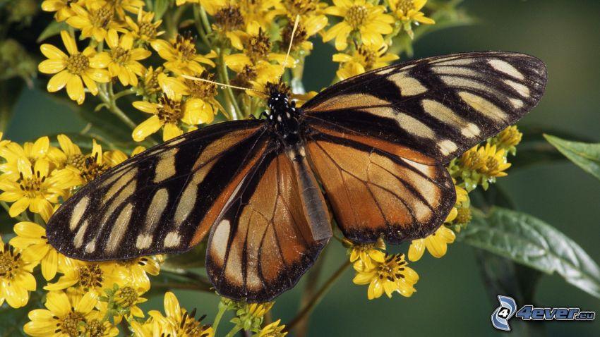 butterfly, yellow flowers, macro