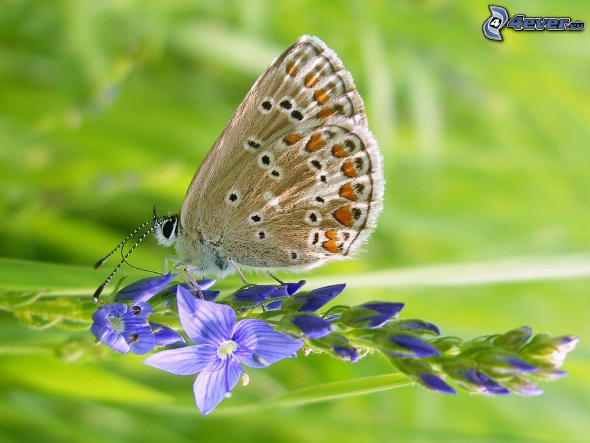 butterfly on flower, blue flower, macro