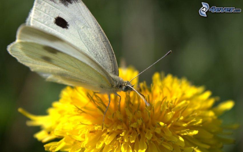 butterfly on flower, dandelion