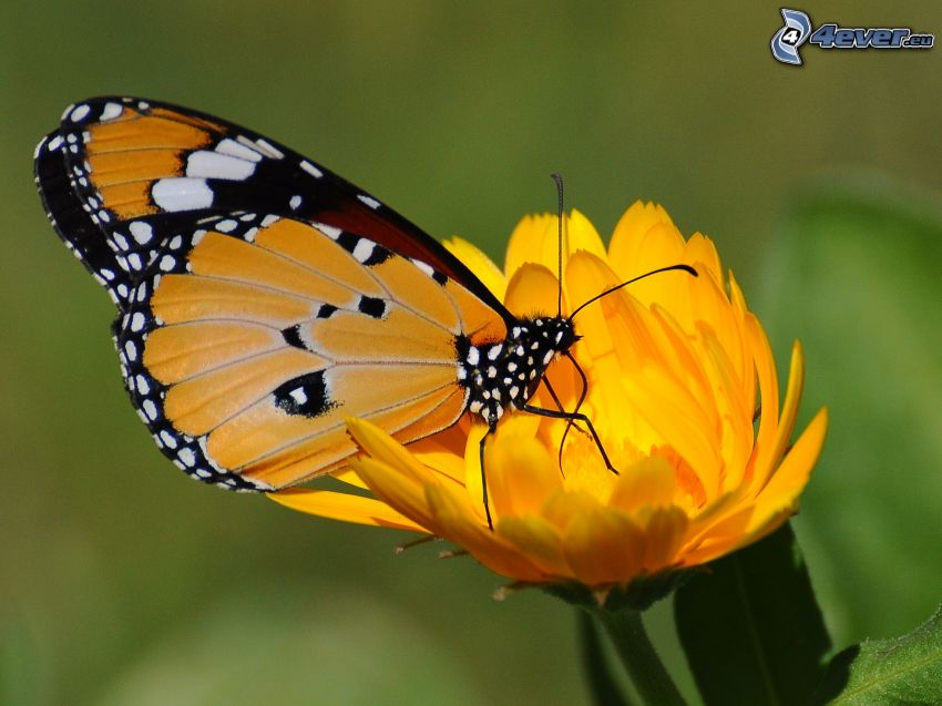 butterfly on flower, macro, orange flower