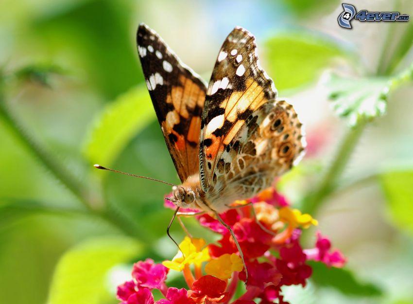 butterfly on flower, macro