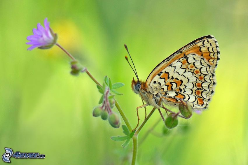 butterfly on flower, macro