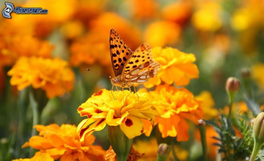 butterfly on flower, marigold, yellow flowers