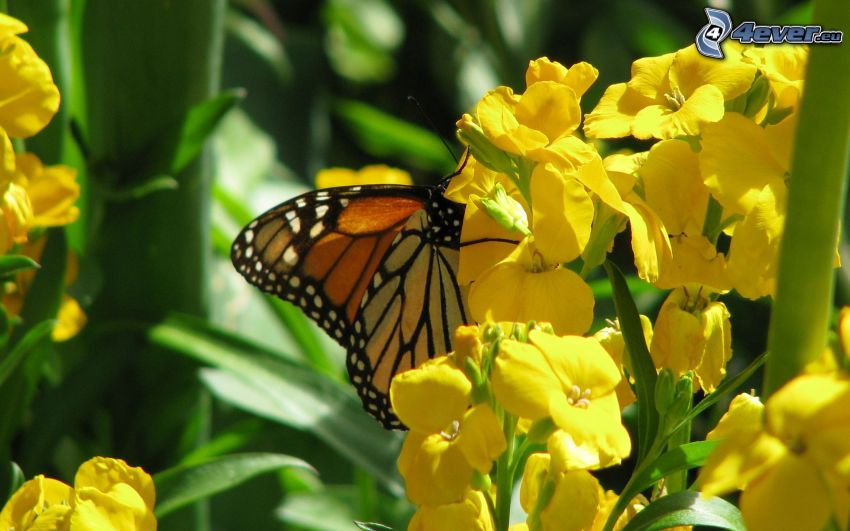 butterfly on flower, nature, greenery, insects