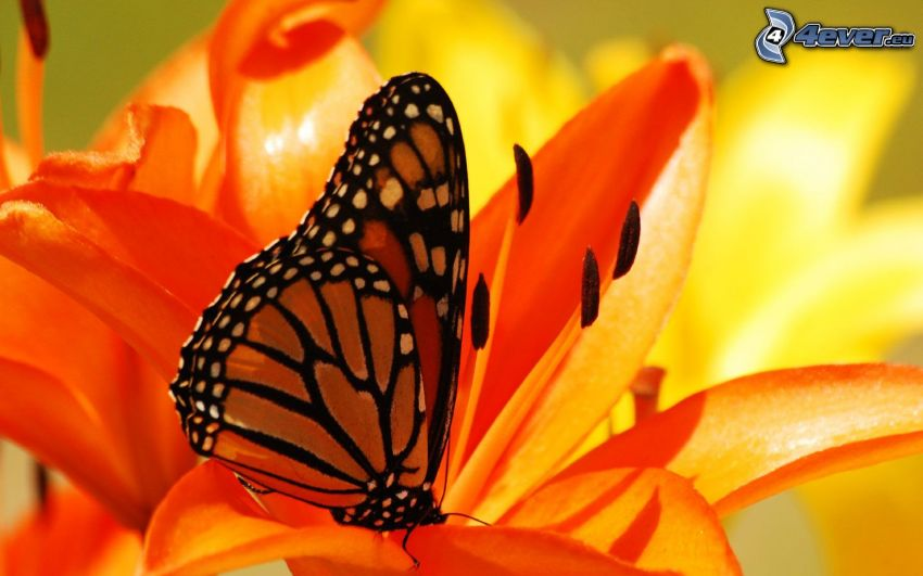 butterfly on flower, orange flower, lily
