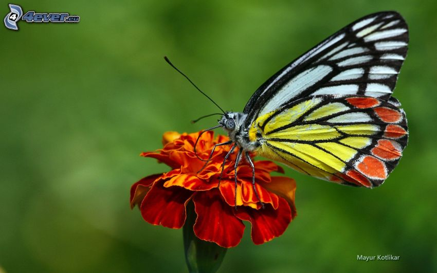 butterfly on flower, orange flower, macro