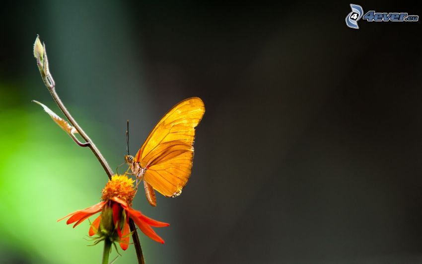 butterfly on flower, orange flower