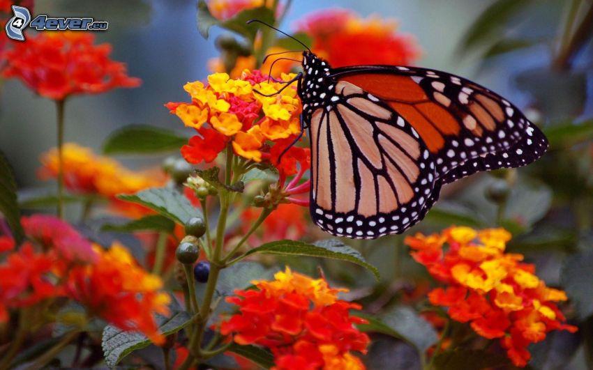 butterfly on flower, orange flowers