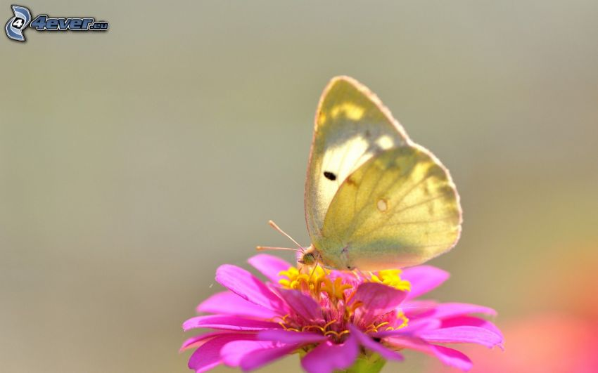 butterfly on flower, pink flower