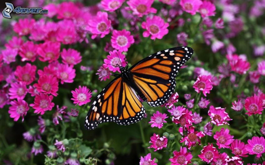 butterfly on flower, pink flowers