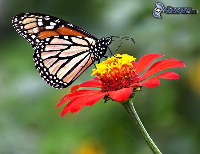 butterfly on flower, pollen