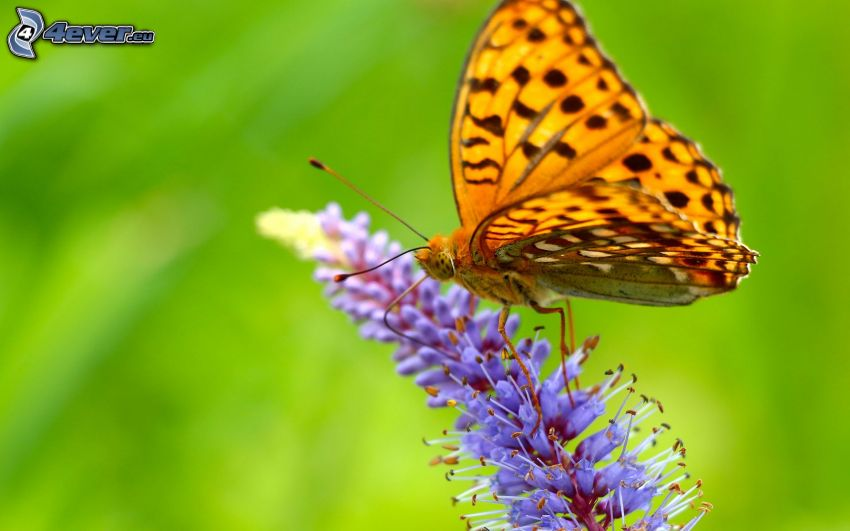 butterfly on flower, purple flower, macro