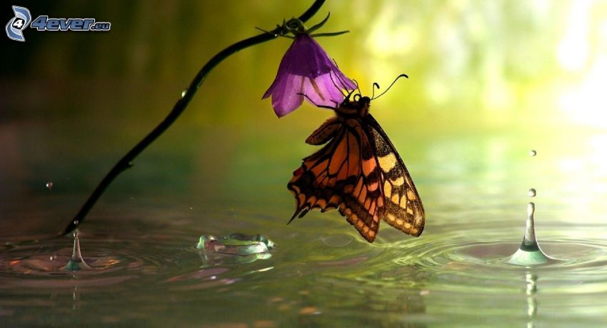 butterfly on flower, purple flower, water