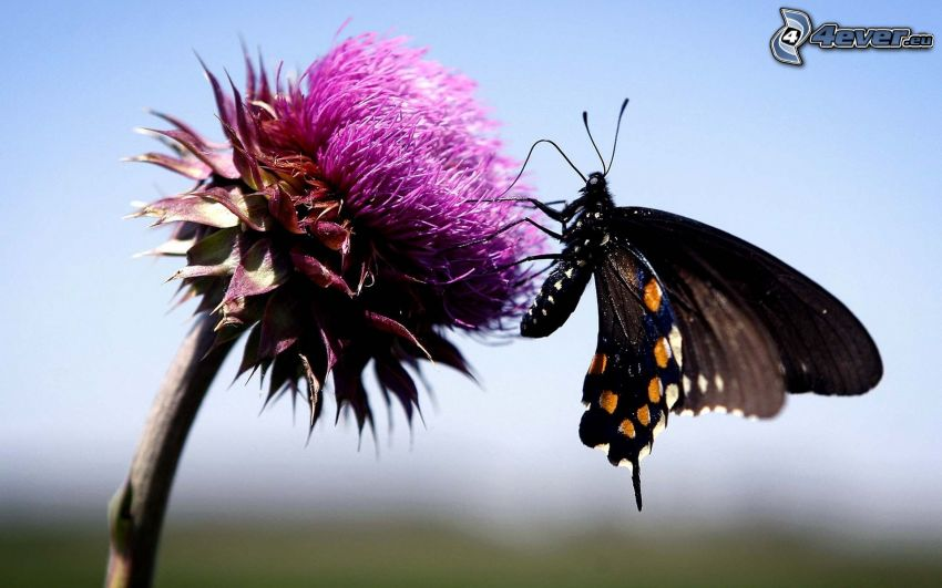 butterfly on flower, purple flower