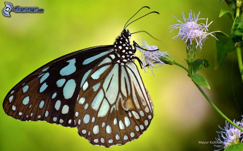 butterfly on flower, purple flowers, macro