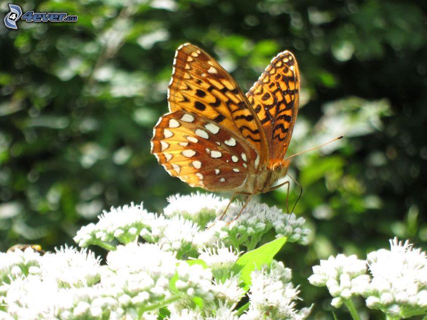 butterfly on flower, white flowers