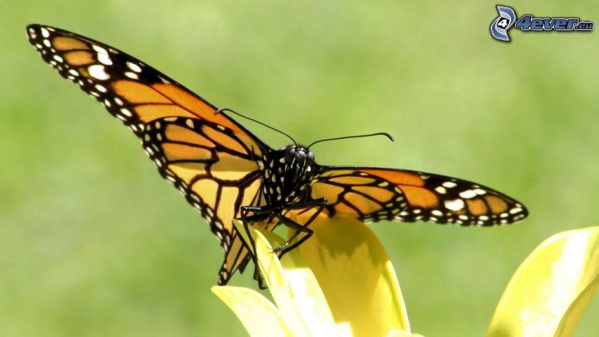butterfly on flower, yellow flower, macro