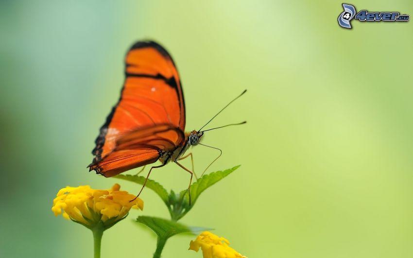 butterfly on flower, yellow flower