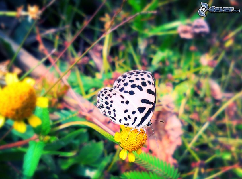 butterfly on flower, yellow flower
