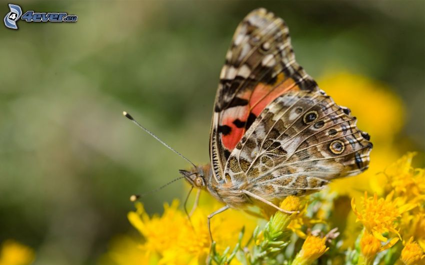 butterfly on flower, yellow flowers