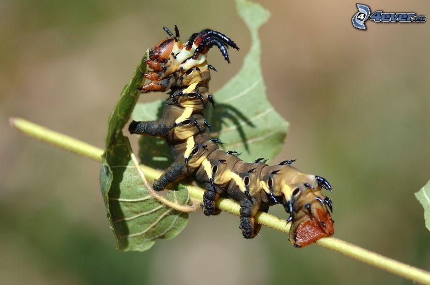 caterpillar, leaf