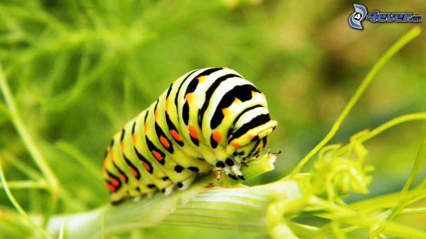 caterpillar, macro