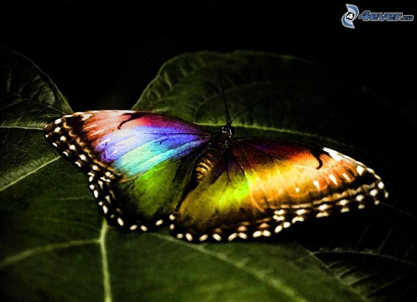 colourful butterfly, leaf