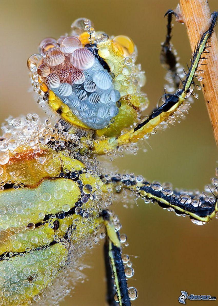dewed wasp, macro