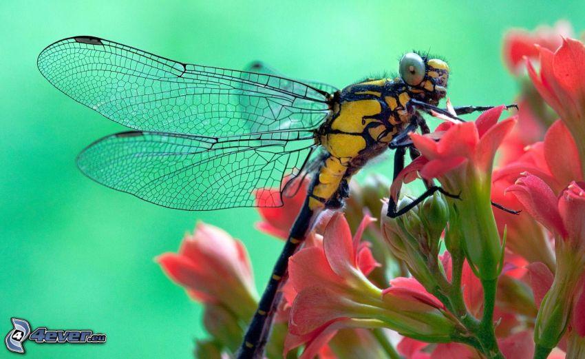 dragonfly on flowers, pink flower, macro