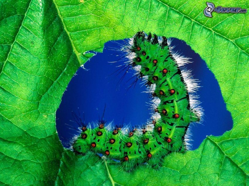 green caterpillar, green leaf