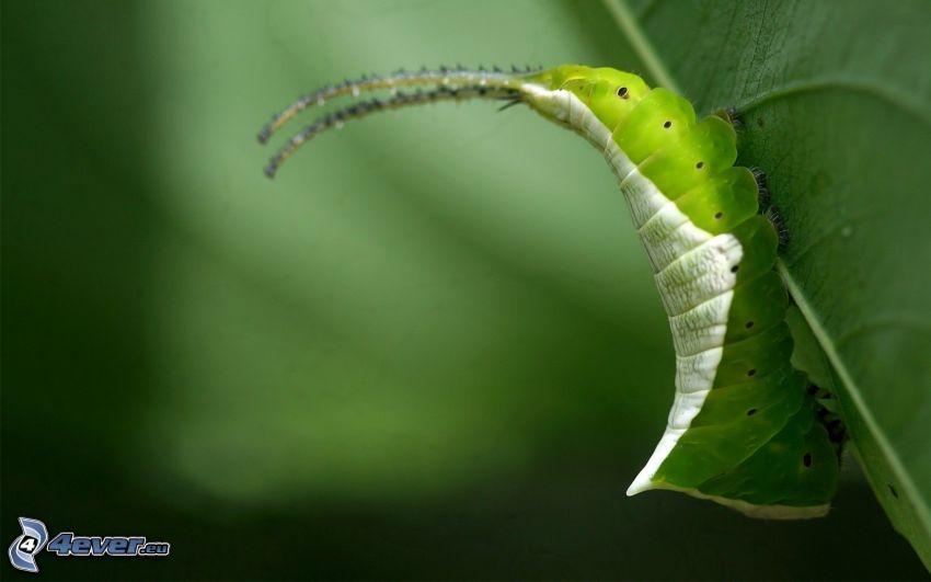 green caterpillar, leaf
