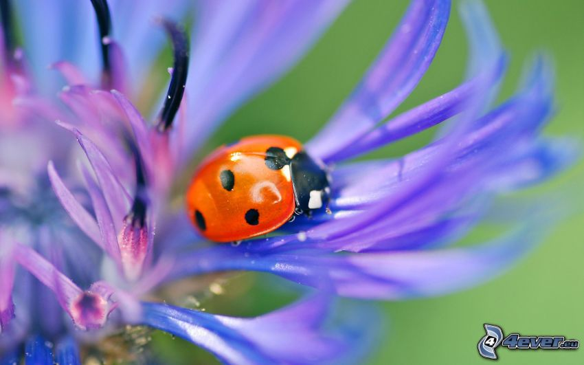 ladybug, cornflower