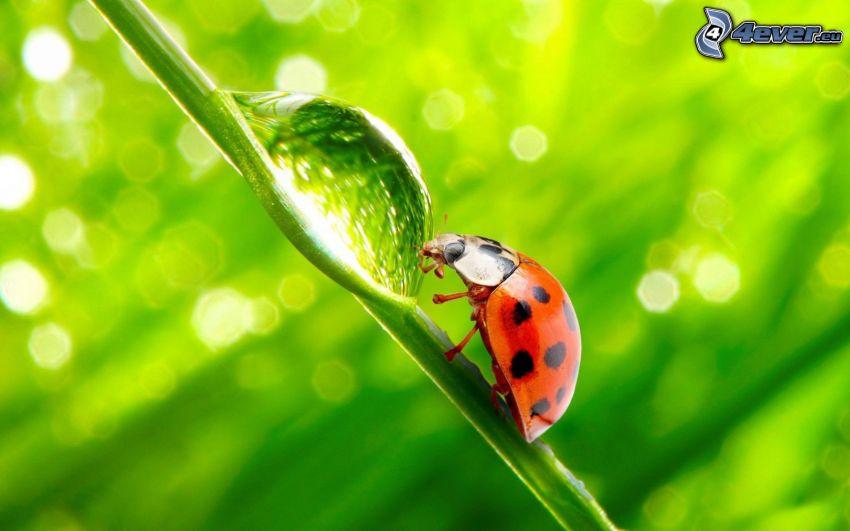 ladybug, drop of water, stem
