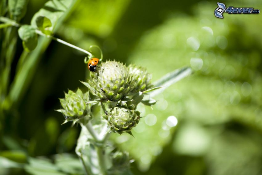 ladybug, plant, greenery