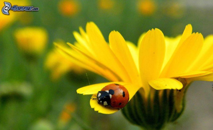 ladybug, yellow flower