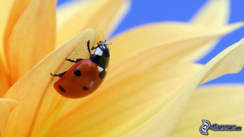 ladybug on a leaf, yellow flower
