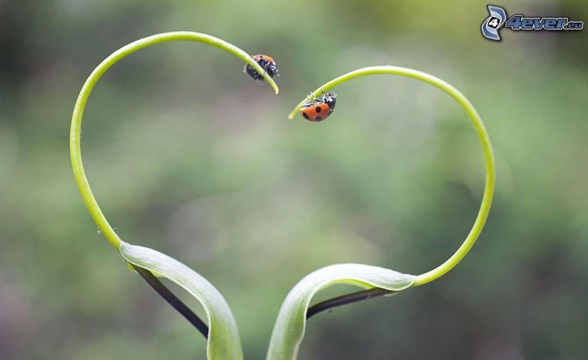 ladybugs, heart, herb