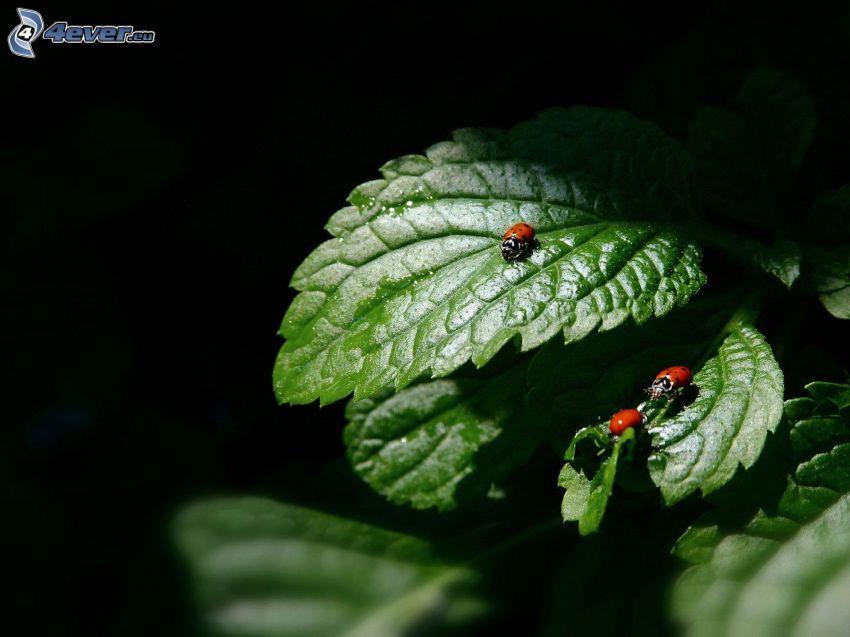 ladybugs, leaves