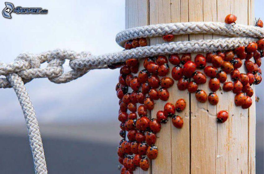 ladybugs, rope, column