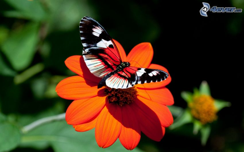 peacock butterfly, butterfly on flower, orange flower