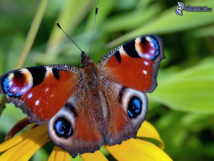 peacock butterfly, macro