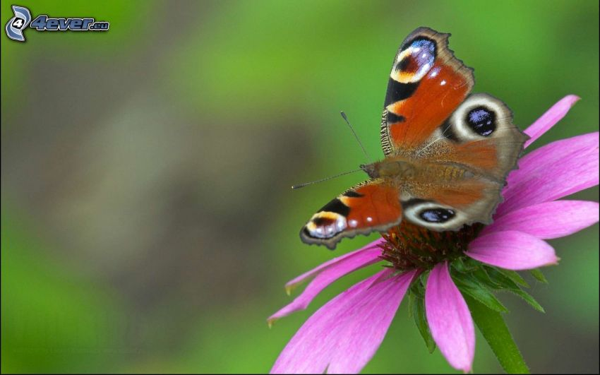 peacock butterfly, purple flower