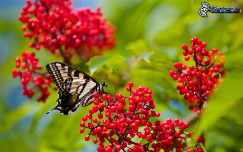 Swallowtail, berries