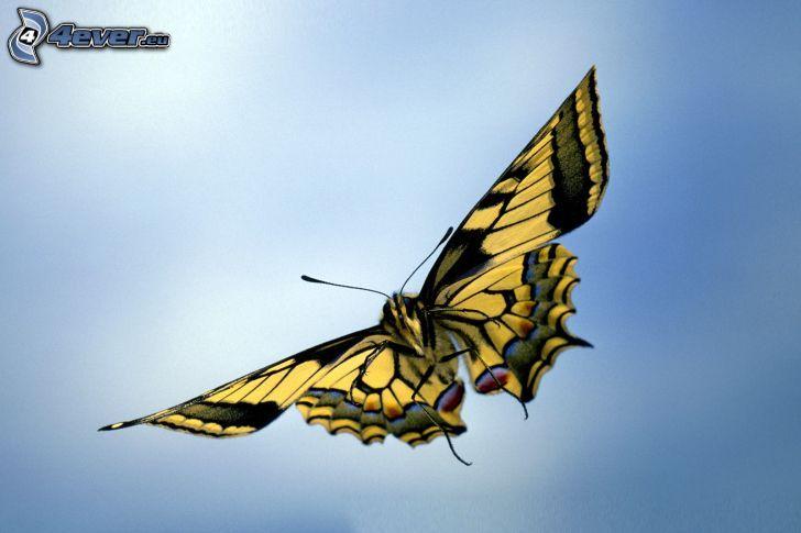 Swallowtail, flight
