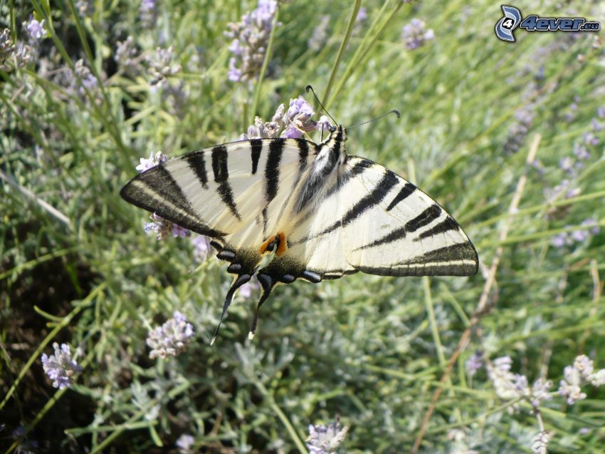 Swallowtail, lavender