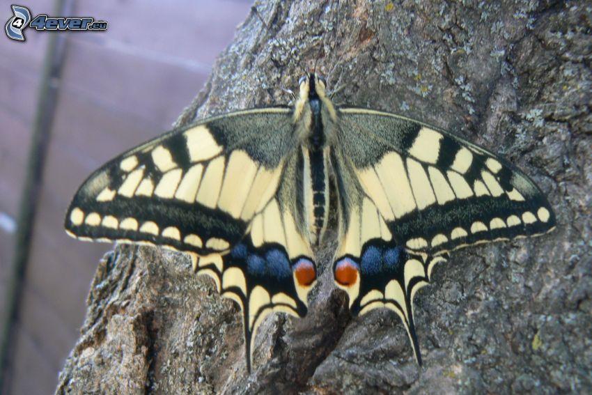 Swallowtail, macro